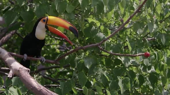 Toucan houblon à travers les branches d'arbres