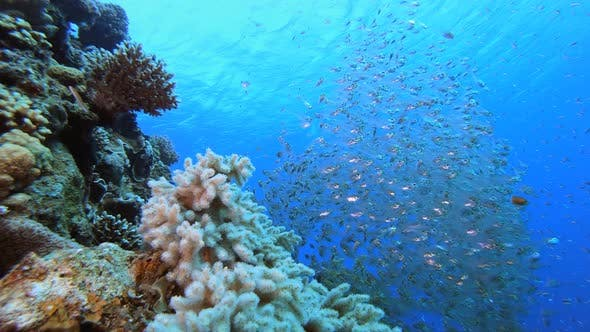 Tropical Underwater Glassfish