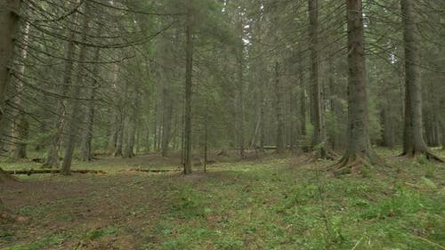 Inside a Coniferous Forest
