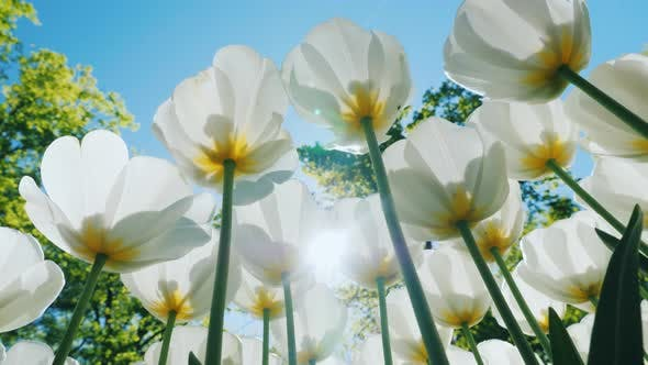 Thumbnail for Fresh Snow-white Tulips Are Growing Against the Blue Sky on a Clear Sunny Day