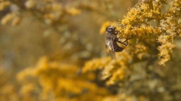 Honey Bee Pollinating Orange Flower