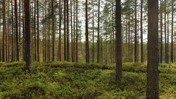 Thumbnail for Forest in Finland Beautiful Nature of Finland