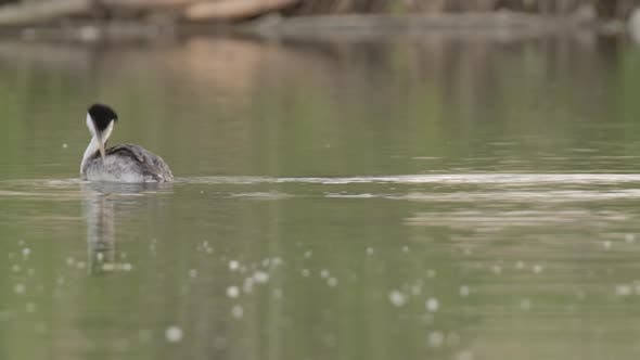 Thumbnail for Western Grebe Adult Lone Stretching in Spring Calm Water in South Dakota