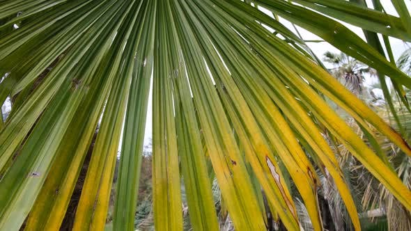 Tropical palm trees. Green leaves of a palm tree move in the wind