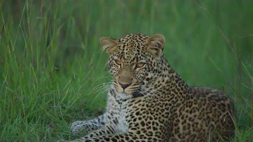 Leopard in Maasai Mara