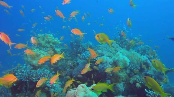 Thumbnail for Red Sea Coral and Colorful Fishes