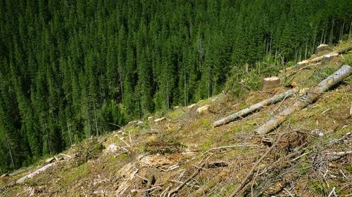 Deforested Hill And Pine Tree Forest