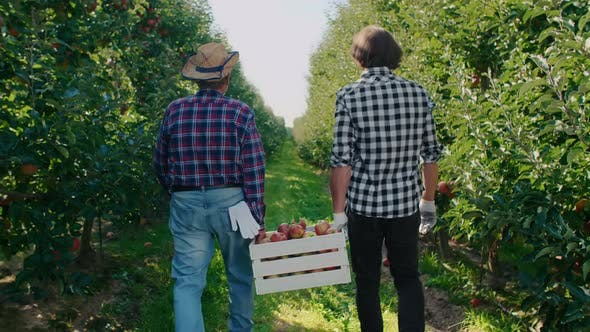 Thumbnail for Rear view of two men carrying a full crate of apples