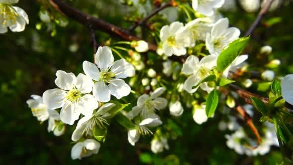 Obstbaum blüht im Frühling.
