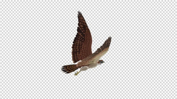 American Kestrel - 4K Flying Loop - Back Angle