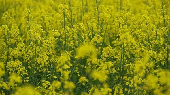 Fleurs de colza jaune 13