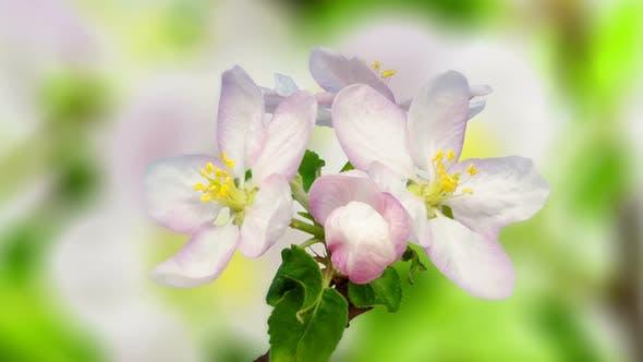Apple Blossom Timelapse on Pink