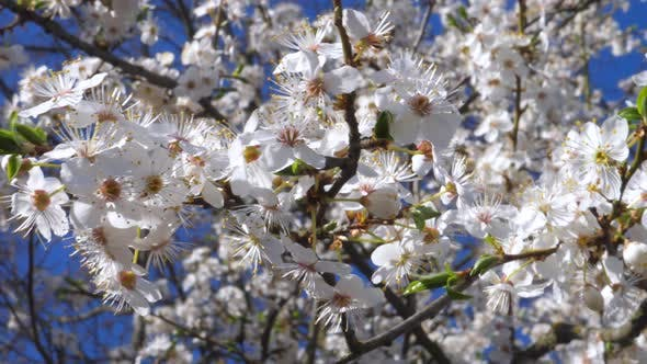 Thumbnail for Closeup Of Cherry Blossoms Against Blue Sky