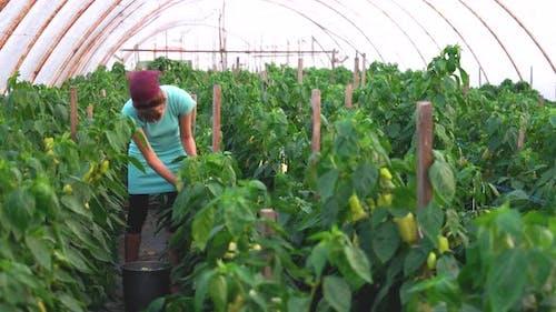 Female Gardener Harvesting Bell Pepper at Greenhouse