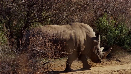 Thumbnail for Footage of Rhino