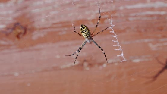 Thumbnail for Close Up, Spider Argiope Bruennichi on the Web on a Tree Background