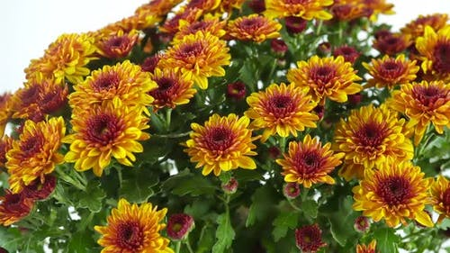Rotating Autumn Garden Flowers On The Background 3.