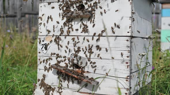 Thumbnail for Detail of Crowded Gate Into Wooden Bee Hive. Bees Arriving with Legs Wrapped By Yellow Pollen. Bees