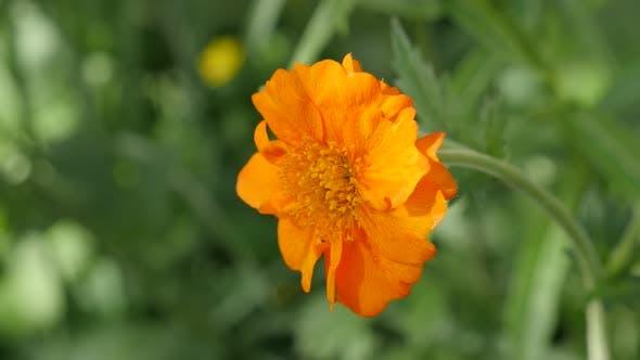 Thumbnail for Beautiful Calendula officinalis Common Marigold flower shallow DOF 4K 2160p UltraHD footage - Englis