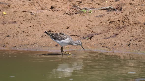 Thumbnail for Common sandpiper and a three-banded plover near a lake