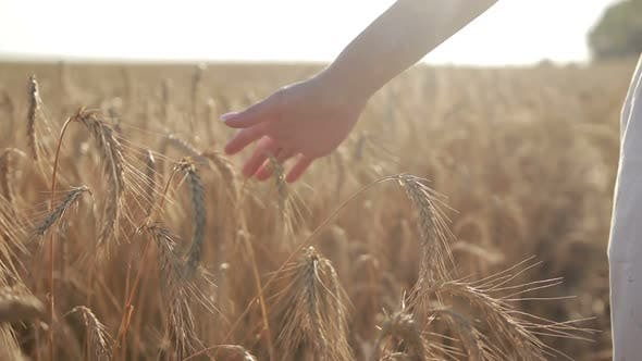 Cover Image for Female Hand Touching Wheat Spikes at Sunset Light