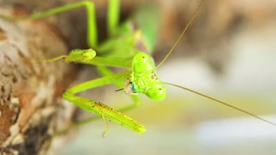 Praying Mantis Feeding On A Cricket