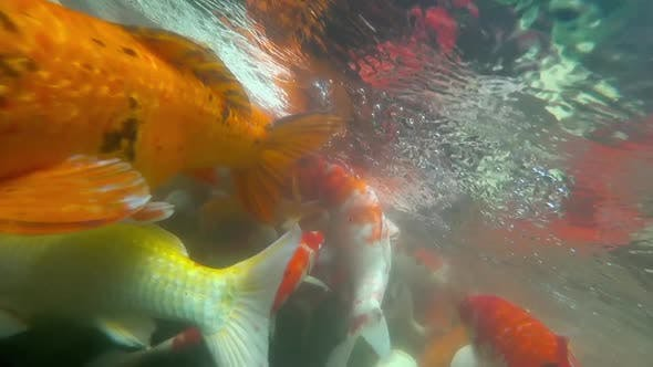 Cover Image for Underwater Koi Fish in Pond Eating