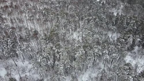 Winter Forest in Windy Weather