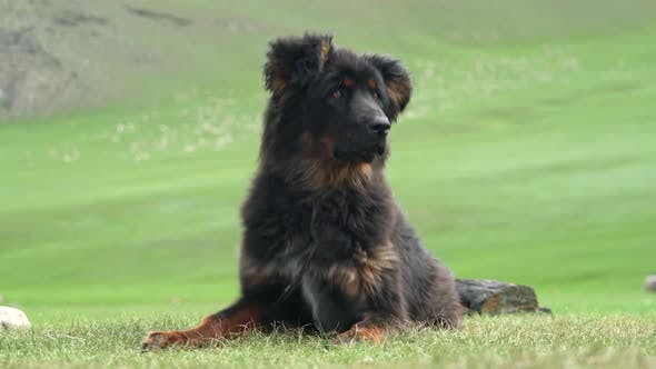 Black Shepherd Dog in Strong Windy Siberian Climate