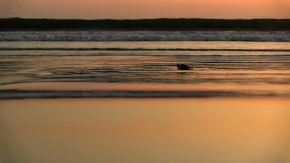 Thumbnail for Atlantic Ridley Sea Baby Turtle Crossing the Beach at Sunset