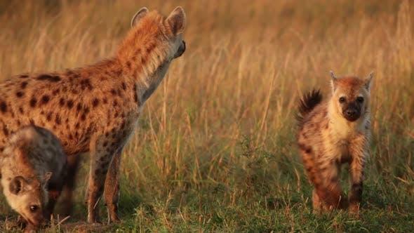 Thumbnail for Hyena Family Playing