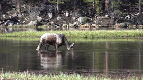 Moose Bull Immature Lone Eating Feeding in Spring Water Pond Wetland