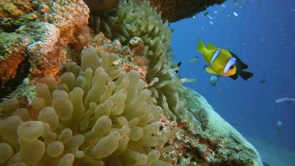 Thumbnail for Underwater Sea Anemones Clown-Fish