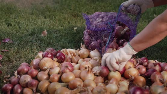 Thumbnail for Woman Puts Onion Crop in Bag