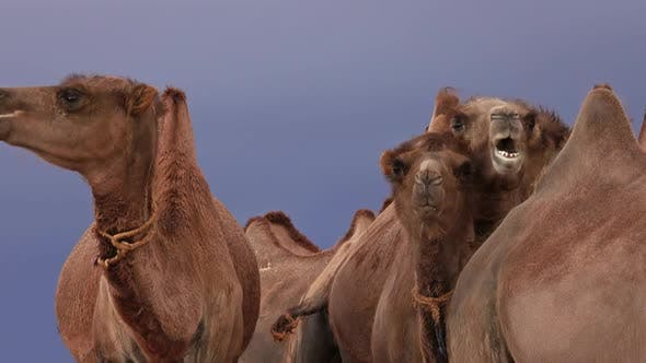 Bactrian Camels Portrait in Steppe Mongolia