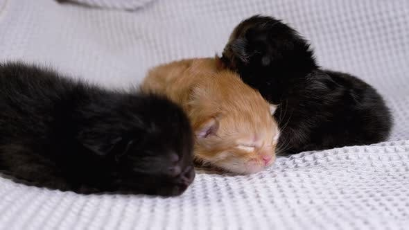Thumbnail for Three Newborn Blind Little Black and Red Kittens Crawling on a White Background