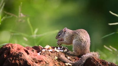 Smith bush squirrel in Kruger National park, South Africa