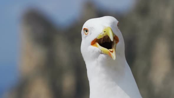 Cover Image for Laughing Gull Close-up Looks Into the Camera.