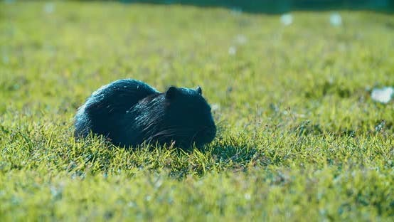 black muskrat is eating something on the green lawn