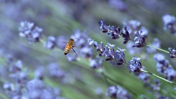 Thumbnail for Honey bee and lavender in slow motion, shot on Phantom Flex 4K