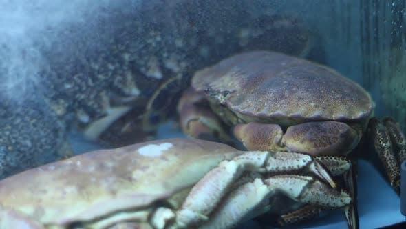 Thumbnail for Large Crabs In Aquarium