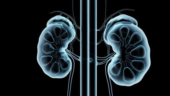 Thumbnail for Kidneys Xray Loop  Rotation