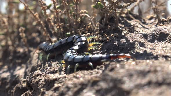Thumbnail for Natural Real Wild Centipede