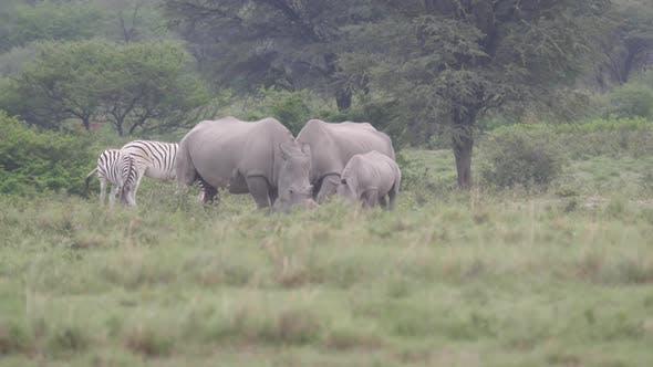 Thumbnail for Rhino family at Khama Rhino Sanctuary