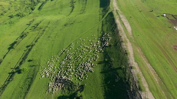 Flying Over a Herd of Sheep Grazing in a Meadow. Transylvania, Romania
