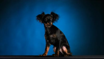 Portrait of an Adorable Black Russian Toy Terrier in the Studio on a Blue with Black Gradient