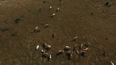 Aerial Cattle