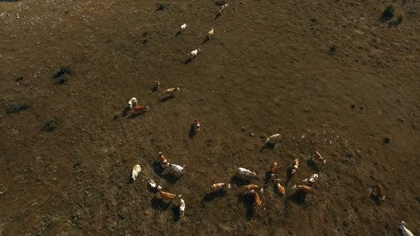 Thumbnail for Aerial Cattle