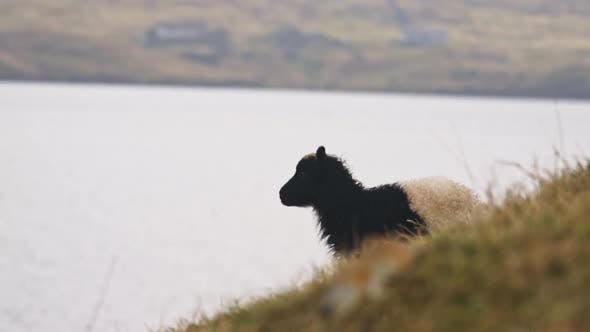 Thumbnail for Lamb Walking On Faroe Island