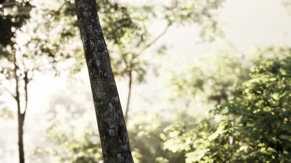 Thumbnail for Sunbeams Pour Through Trees in Misty Forest